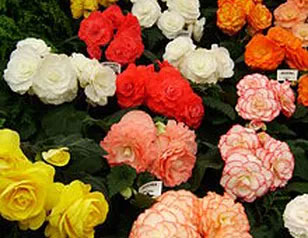 begonias-assorted