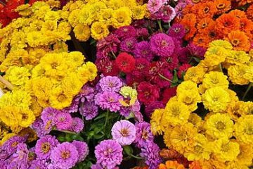 mums-assorted