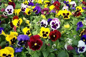 pansies-assorted