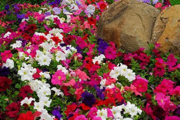 petunias-assorted